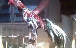Jenis-jenis ayam laga