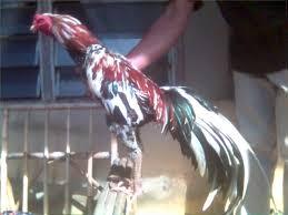 ayam Ciparage