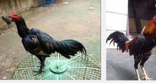 Ciri-ciri spesifik pada ayam Birma