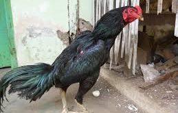 Ayam Bangkok Hitam