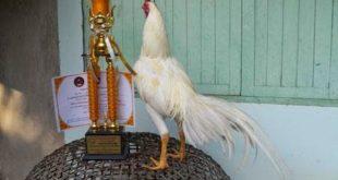 Ayam Bangkok Kualitas Super