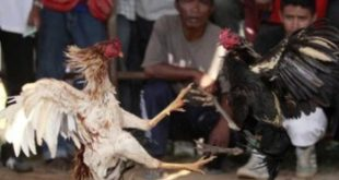 Judi Sabung Ayam