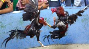 Tujuh Ciri Khas Ayam Bangkok