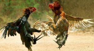 Ayam Bangkok Musuh