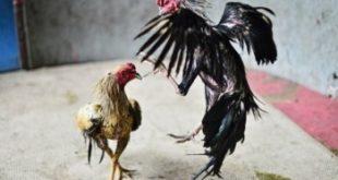 Sabung Ayam Di Amerika Serikat Dan Eropa