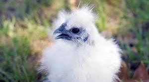 Lima Jenis Ayam Langka