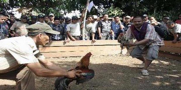 Image result for sabung ayam di sulawesi