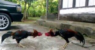 5 Fakta Ayam Bangkok Gombong