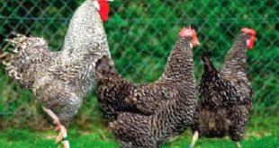 9 jenis ayam terbesar