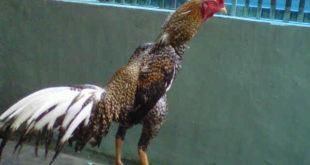 Ayam Panus
