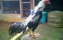 Ciri Ayam Bangkok Wido
