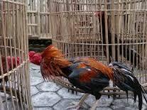 5 Latihan Ayam Aduan