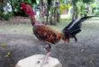 Ayam Laga Saigon