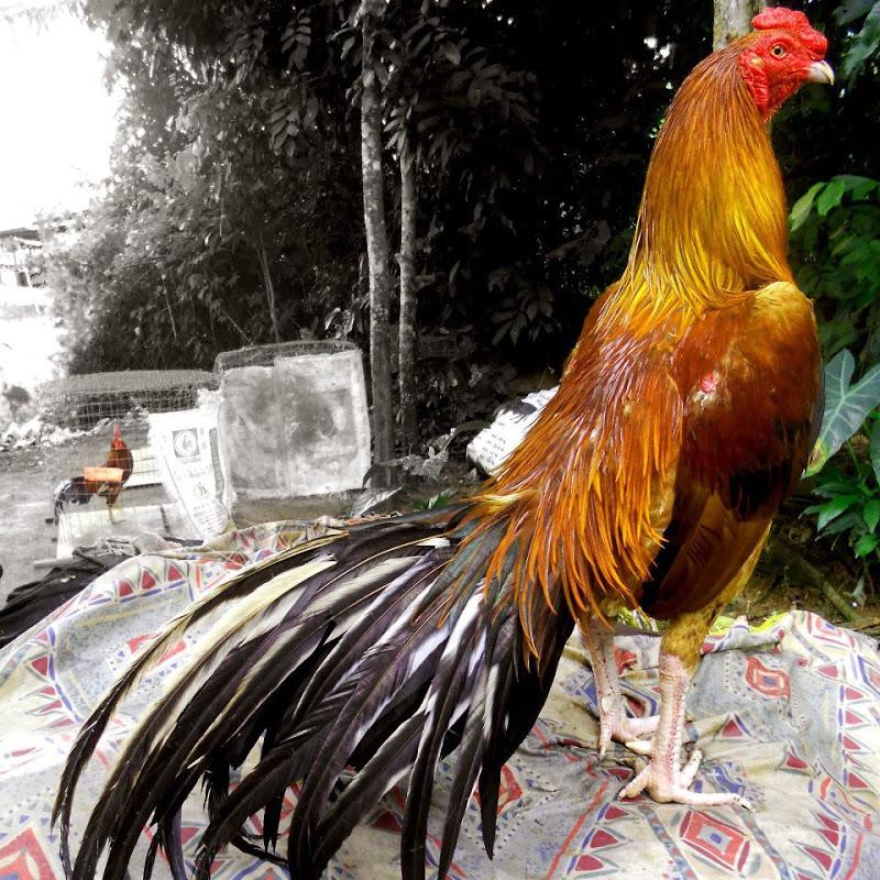 3 Jenis Ayam Laga Terbaik Di Dunia Saat Ini.Agen Sabung Ayam