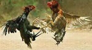 Ayam Bangkok Akan Kalah Atau Menang