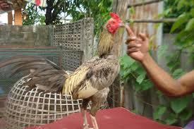 7 Ciri Khusus Ayam Bangkok
