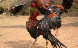 7 Pukulan Ayam bangkok Yang Paling Ampuh