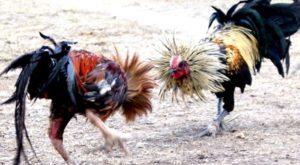 5 Jenis Pukulan Ayam Bangkok