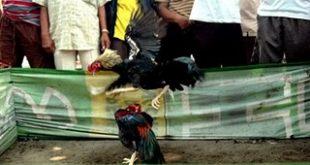 Penggerebekan Sabung Ayam