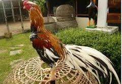 Ayam Laga Siap Tempur