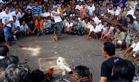 Ritual Massal Sabung Ayam