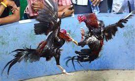 Tentang Ayam