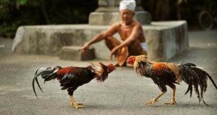 ayam bangkok, ayam birma, ayam saigon, ayam aduan, ayam petarung, ayam laga, ayam aduan terbaik