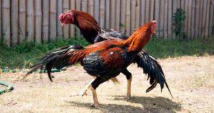 ayam petarung, ayam bangkok, ayam ciparage, ayam bali, ayam banten, ayam tolaki