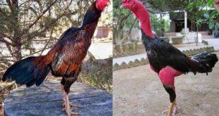ayam saigon, ayam bangkok, ayam petarung