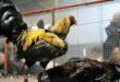 Sabung Ayam Ada Di Amerika