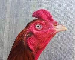 Katuranggan Ayam Bangkok Super
