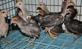 Bibit Ayam Bangkok