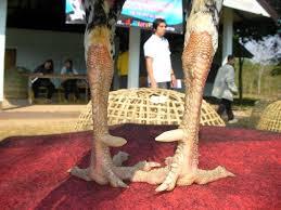 Ciri Ayam Bangkok Pemilik Kaki Kuat