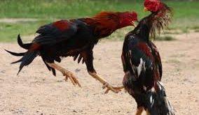 Ayam Bangkok Dengan Pukulan Mematikan
