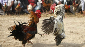 2 Jenis Pukulan Utama Ayam Bangkok