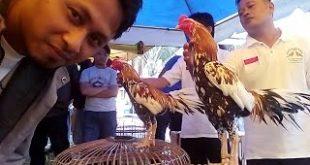 Ciri Dan Karakter Ayam Bangkok Juara