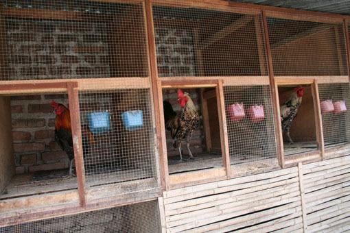 Cara Merawat Ayam Bangkok Agar Tetap Sehat