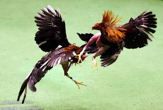 Memilih Ayam Bangkok