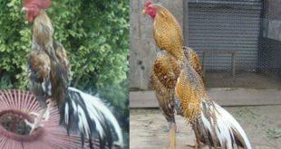 Ayam Laga Jawara
