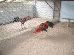 Memelihara Potensi Ayam Bangkok