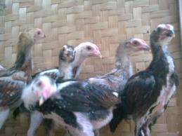 Bibit Ayam Laga Berkualitas