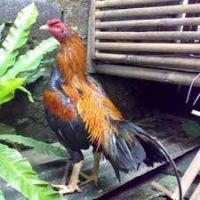 Ciri Khas Ayam Bangkok Super F1