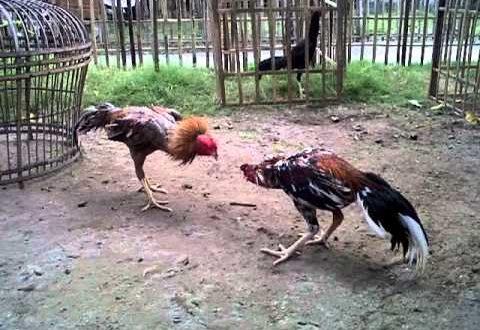 Warna Ayam Bangkok