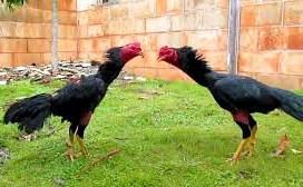 Ayam Magon