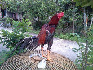 Ayam Bangkok Dalam Kondisi Prima