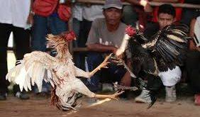 Persiapan Bagi Ayam Laga