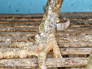 Taji Ayam Bangkok Yang Mematikan