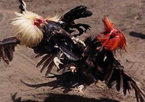 2 Jenis Pukulan Ayam Bangkok