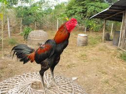 Ayam Laga Unggulan