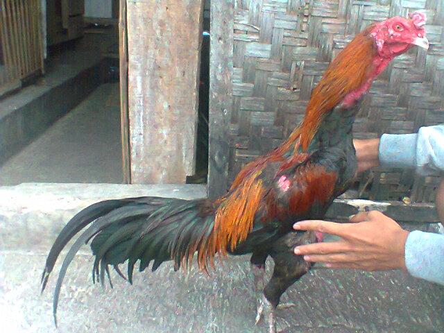87 Gambar Ayam Vietnam Aduan Kekinian
